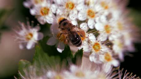 estames : Bee on a white inflorescence in spring collects pollen. Crataegus monogyna in spring. White inflorescences sway in the wind.