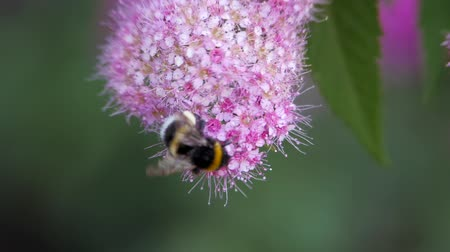 polinização : Spiraea, deciduous ornamental shrubs of the pink family. Bumblebee turns and pollinating it.