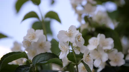 trvalka : Philadelphus coronarng. White jasmine flowers sway in the wind. Beautiful flower on branches with green oblong leaves.