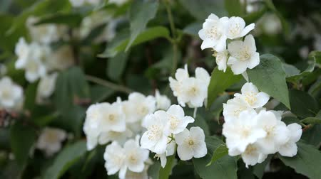 philadelphus blossoms : Philadelphus coronarng. White jasmine flowers sway in the wind. Beautiful flower on branches with green oblong leaves.