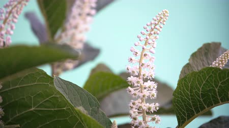тыкать : Phytolacca americana. White inflorescence swaying in the wind. Laconos flower close up.