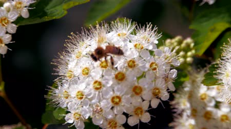estames : Bee on a white inflorescence in spring collects pollen. Crataegus monogyna in spring. White inflorescences sway in the wind. Flowers of hawthorn in flowering periud.