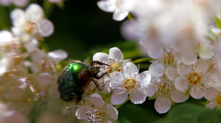 meidoorn : Beetle on a white inflorescence in spring. Bronzovka Golden or June beetle crawls along the flower and collects nectar. Crataegus monogyna in spring. White inflorescences sway in the wind. Flowers of hawthorn in flowering periud.
