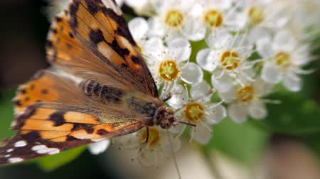 inflorescência : Butterfly on white inflorescences in the spring. Pestrokrylnitsa volatile or Pestrokrylnitsa Levan, Araschnia levana on a flower nectar. Crataegus monogyna in spring. White inflorescences sway in the wind. Flowers of hawthorn in flowering periud.