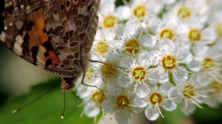 meidoorn : Butterfly on white inflorescences in the spring. Pestrokrylnitsa volatile or Pestrokrylnitsa Levan, Araschnia levana on a flower nectar. Crataegus monogyna in spring. White inflorescences sway in the wind. Flowers of hawthorn in flowering periud.