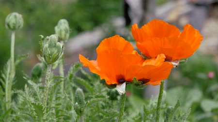 escarlate : Scarlet flowers sway in the wind. Flower poppy garden, Papaver. A genus of herbaceous plants of the poppy family. Stock Footage