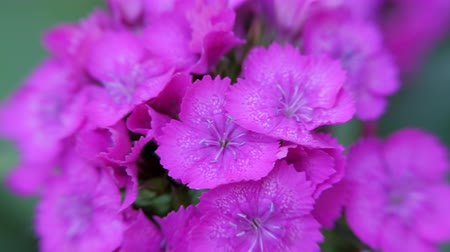 szegfű : Dianthus barbatus. Purple carnation flower Turkish sways in the wind. Carnation flower close up.