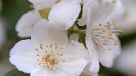 philadelphus blossoms : Philadelphus coronarng. White jasmine flowers sway in the wind. Beautiful flower close up. Stock Footage