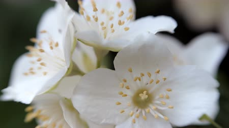 ジャスミン : Philadelphus coronarng. White jasmine flowers sway in the wind. Beautiful flower close up. 動画素材