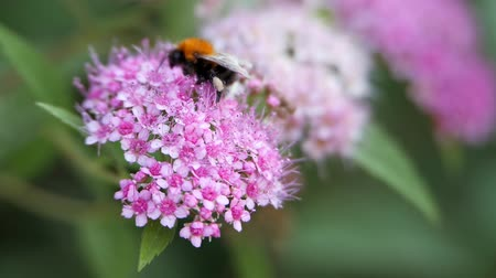 květenství : Spiraea, deciduous ornamental shrubs of the pink family. Bumblebee turns and pollinating it.