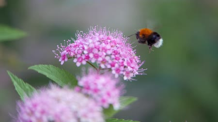 опылять : Spiraea, deciduous ornamental shrubs of the pink family. Bumblebee turns and pollinating it.