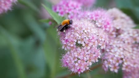 опылять : Spiraea, deciduous ornamental shrubs of the pink family. Bumblebee turns. Стоковые видеозаписи