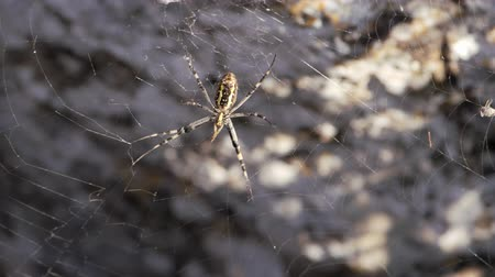 クリミア半島 : Helicase, arachnids Crimean Peninsula. Spider sits on a web.