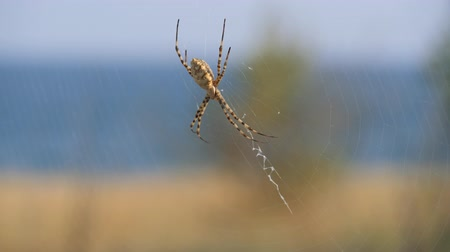 Spider sits on a web. Crimean spider Argiope Lobate.
