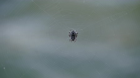 Spider sits on a web. Crimean spider Alkoga. Stock Footage