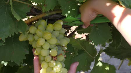 szőlőművelés : Bunch of grapes on a vine. Cut a bunch of grapes with secateurs from a Bush of the vineyard.