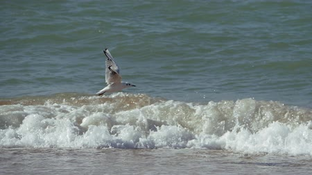 takes : Seagull takes off and lands against the foamy waves.