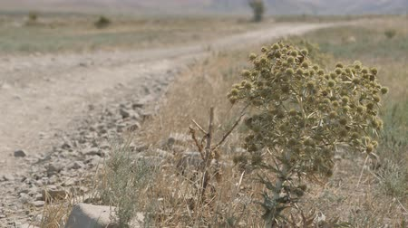 sways : Eryngium campestre. Prairie plants of the Crimea. A thorn sways in the wind.