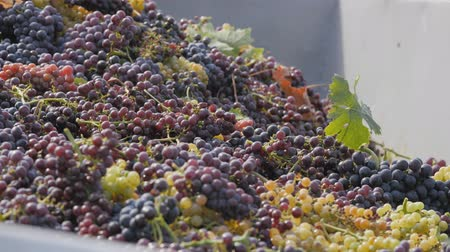 vinná réva : Collection of wine grapes. Bunches of grapes fall into the body. Black and green grapes in the tractor trailer. Dostupné videozáznamy