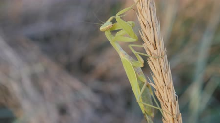 apropriado : Insects in their natural habitat. A praying mantis sits on a Mature inflorescence. The animal cleans its limbs.