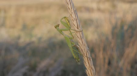 apropriado : Insects in their natural habitat. A praying mantis sits on a Mature inflorescence. Animal brushes its mustache.