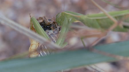 their : Insects in their natural habitat. Mantis eats locust.