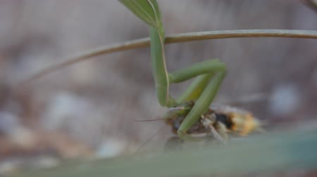 apropriado : Insects in their natural habitat. Mantis eats locust.
