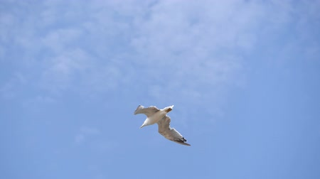 beak : Flying Seagull against the blue sky. Stock Footage