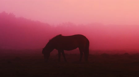 pónei : Icelandic horse in the field during sunset, scenic nature landscape of Iceland.