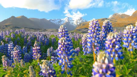 захват : Typical Icelandic landscape with field of blooming lupine flowers.