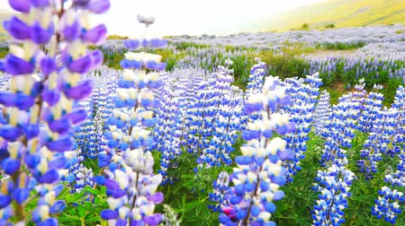 elfog : Typical Icelandic landscape with field of blooming lupine flowers.