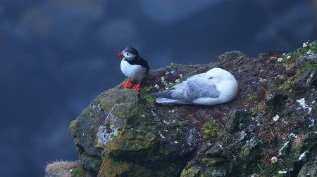 arctica : Puffins on the rocks at latrabjarg Iceland.