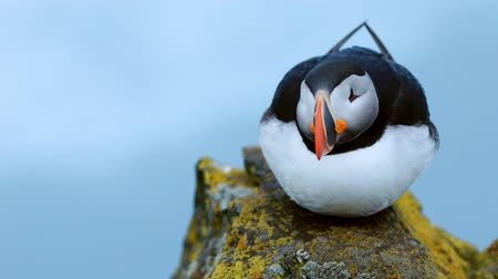 doğa arka plan : Puffin on the rocks at latrabjarg Iceland.
