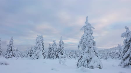 Скандинавия : Spruce trees covered with snow from above. Aerial perspective.