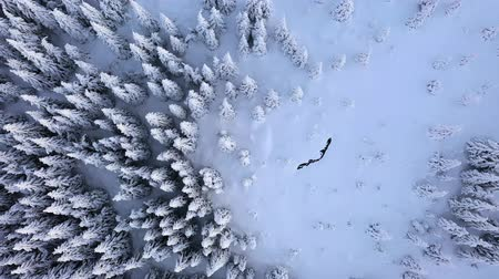 ingiliz columbia : Spruce trees covered with snow from above. Aerial perspective.