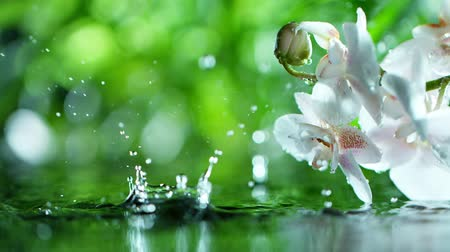 orchidea : beautiful orchid phalaenopsis with water drop, relaxation with water ripple drops concept , slow motion Wideo