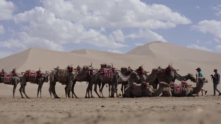 camelo : Camels in desert Takla Makhan China