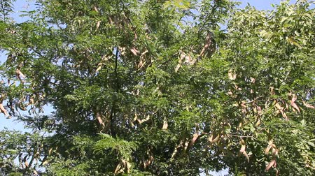 depliant : Honey Locust tree (Gleditsia triacanthos) with fruit.