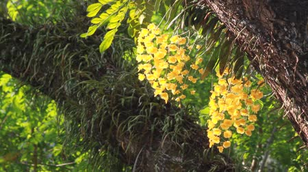dendrobium : yellow orchid in forest