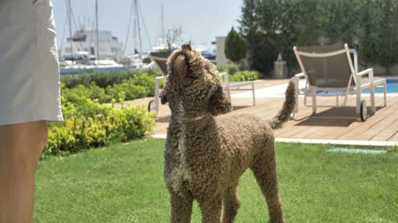 fetch : Lagotto romagnolo dog runs to the pool for a ball