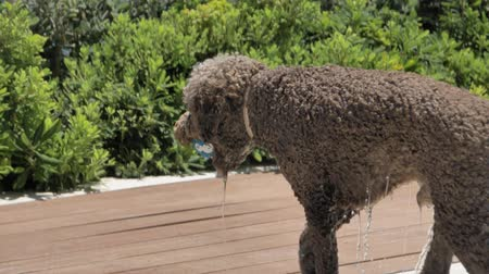 társ : Lagotto romagnolo dog got the ball wet Stock mozgókép