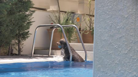retriever : Lagotto romagnolo comes out of the pool