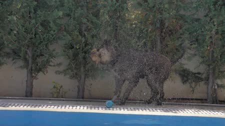 companheiro : Lagotto romagnolo dog got the ball wet Vídeos