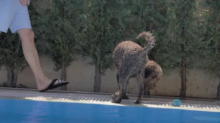 fetch : Lagotto romagnolo plaing with a ball Stock Footage