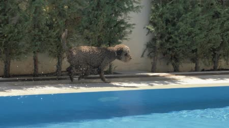 companheiro : Lagotto romagnolo running along the edge of the pool