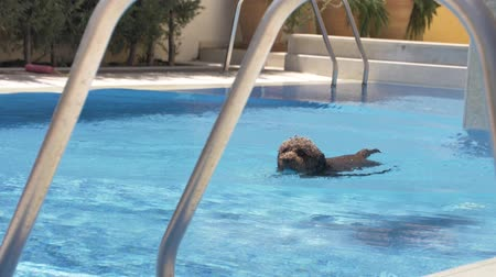 companheiro : Lagotto romagnolo swims in the pool with a toy