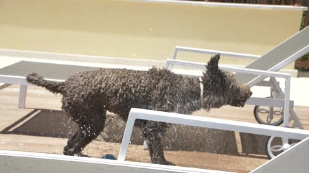 fetch : Lagotto romagnolo shake off water
