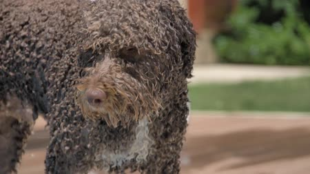 fetch : Wet lagotto romagnolo looks at you Stock Footage