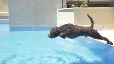 fetch : Lagotto romagnolo jump to the pool for a ball