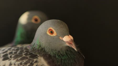 breeder : couples of speed racing pigeon in home loft